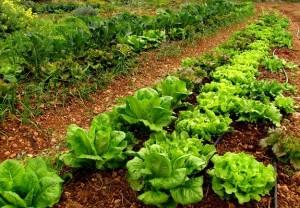 Cultiva salud con un huerto el correo del sol for Rotacion cultivos agricultura ecologica