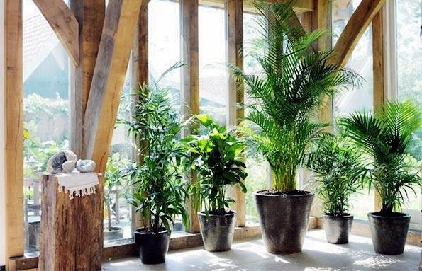 Las 13 mejores plantas de interior limpian el aire y son f ciles de cuidar el correo del sol - Plantas de interior grandes ...
