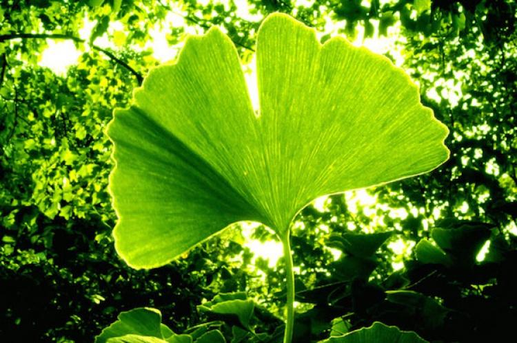 Resultado de imagen de planta natural  Ginkgo Biloba