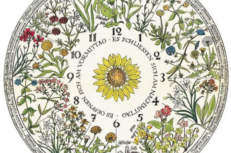 Diseño del reloj floral de Carl von Linné