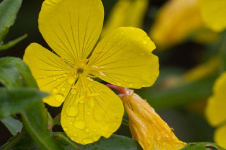 remedios caseros para la alergia a la parietaria